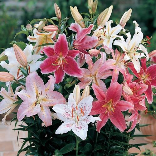 ลิลลี่ เป็นดอกไม้ชนิดหัวสะสมอาหารที่ใต้ดินและดอกที่ใหญ่มาก