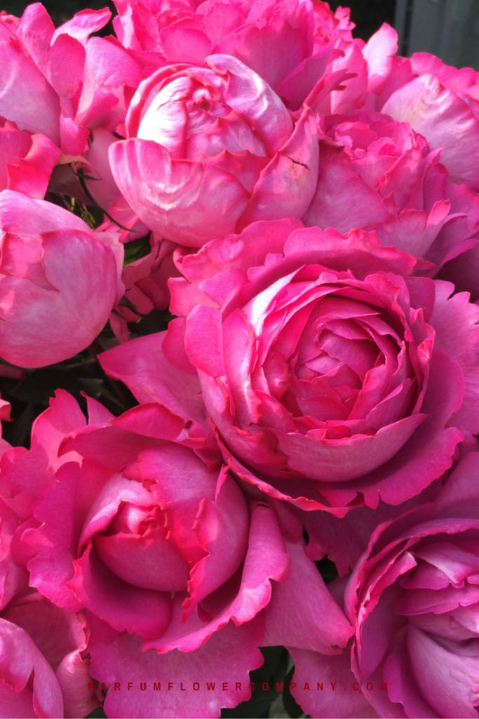 ชื่อดอกกุหลาบ ที่มีกลิ่นหอม ดอกกุหลาบแรก ชื่อว่า กุหลาบอีฟ เพียเจต์ (Yves Piaget Rose) กุหลาบหอมที่คิดค้นโดยศูนย์พัฒนาน้ำหอมแห่งประเทศฝรั่งเศส