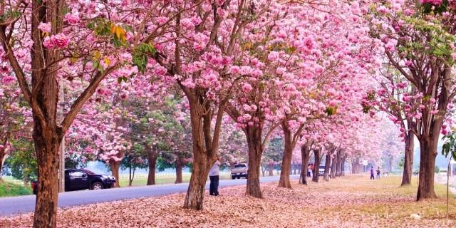 พันธุ์ไม้ยืนต้น และมีดอกสวยงามที่อยากจะมาแนะนำ พันธุ์ไม้แรก ก็คือ ชมพูพันธุ์ทิพท์ ดอกไม้ริมทาง พันธุ์ไม้ ชมพูพันธุ์ทิพท์ที่ร่วงลงที่พื้น