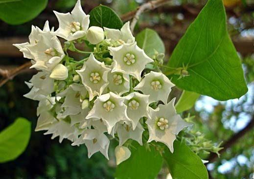 สายพันธุ์ต้นไม้ชนิดที่สามที่ปลูกกลางแจ้งและให้กลิ่นหอม คือ ชมนาด เป็นดอกไม้ที่มีสีขาว ๆ เหลือง ๆ มีกลิ่นที่หอมอ่อน ๆ