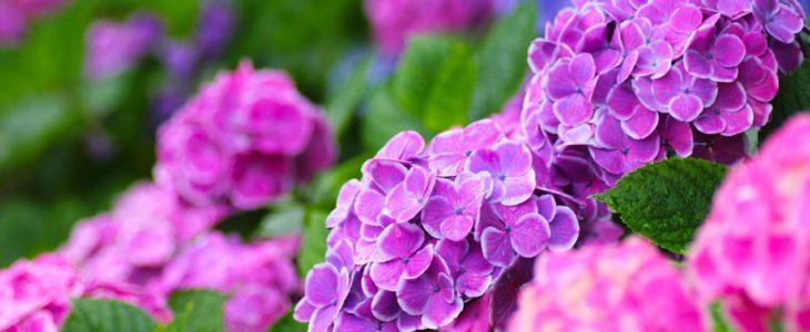 ดอกอาจิไซ สารพัดประโยชน์