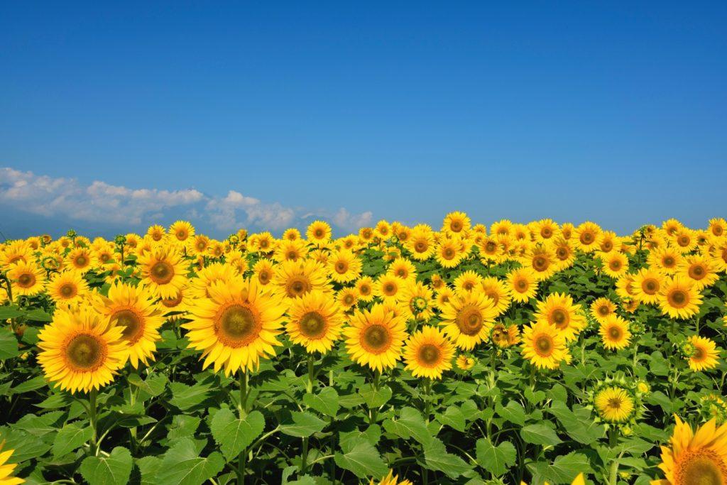 ต้นทานตะวัน มีดอกขนาดใหญ่สีเหลืองทองสวยงาม ซึ่งดอกเป็นตัวแทนความสดใส ที่สื่อถึงความรักที่บริสุทธิ์ มั่นคง และจริงใจ