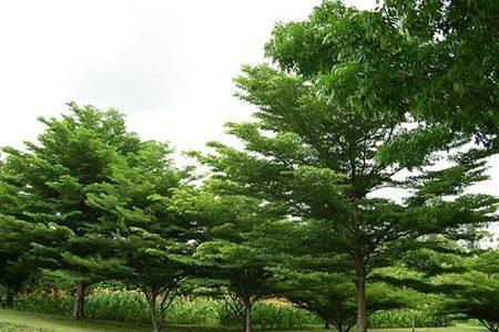 พันธุ์ไม้ยืนต้นที่นิยมปลูก ไม้ยืนต้นที่นิยมปลูก เป็นไม้ยืนต้นยอดฮิต
