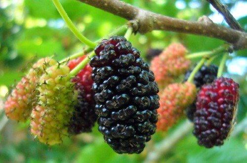 พืชตระกูลเบอร์รี่น่าปลูก พันธุ์แรก คือ มัลเบอร์รี่  (Mulberry) สำหรับ มัลเบอร์รี่ หรือที่คนไทยรู้จักกันในนามของ ลูกหม่อน