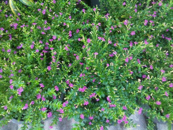 ไม้ดอกที่นิยมปลูกในบ้าน ชนิดที่สองที่อยากแนะนำ คือ หลิวไทเปหรือหลิวไต้หวัน ลักษณะเป็นทรงพุ่ม อายุยืน สามารถนำมาดัดเหมือนต้นบอนไซได้