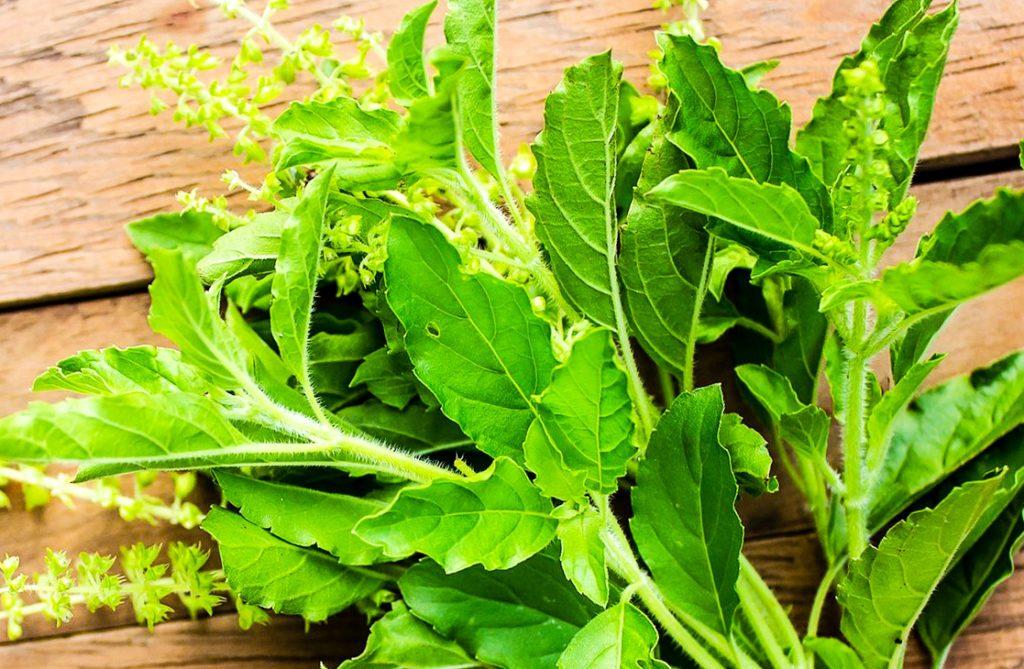 การปลูกพืชผักสวนครัว ที่นิยมปลูกกัน พืชผักสวนครัวชนิดที่สาม คือ กระเพรา