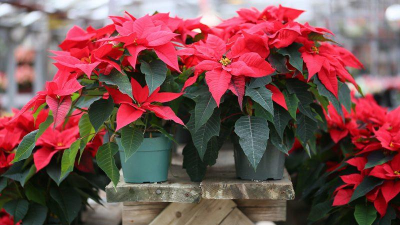 ไม้ประดับไร้ดอก ที่ใบสวย ใช้ในการตกแต่งสถานที่ ต้นไม้ชนิดแรก คือ ต้นคริสต์มาส