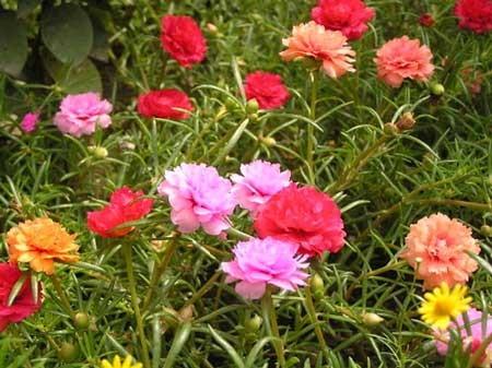 พันธุ์ไม้ดอกไม้ประดับ ที่ปลูกประดับตกแต่งบ้านเพื่อความสวยงาม พันธุ์ไม้แรก คือ ต้นคุณนายตื่นสาย