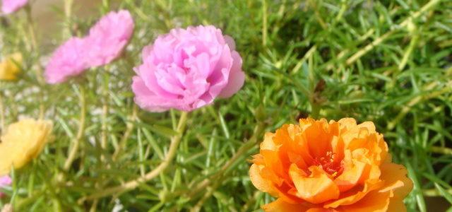 ต้นคุณนายตื่นสาย เป็นไม้ดอกที่สวยงาม