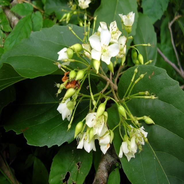พันธุ์ไม้หายาก ที่มีความสวยและความงามในดอกและใบ พันธุ์ที่สาม คือ                                             ต้นจันทน์หอม