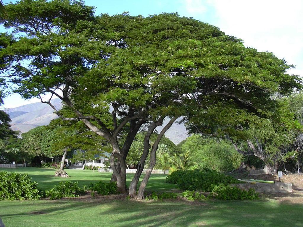 พันธุ์ไม้ยืนต้นน่าปลูก พันธุ์ไม้ปลูกง่ายชนิดที่สอง คือ ต้นจามจุรี หรือ ต้นก้ามปู