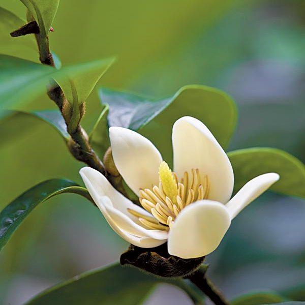 พันธุ์ไม้หายาก ที่มีความสวยและความงามในดอกและใบ พันธุ์ที่สอง คือ                             ต้นจำปีแขก
