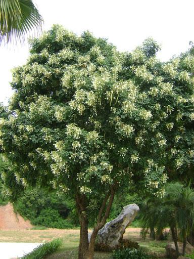 พันธุ์ไม้ยืนต้นน่าปลูก พันธุ์ไม้ปลูกง่ายชนิดแรก คือ ปีบ หรือ ต้นกาสะลอง