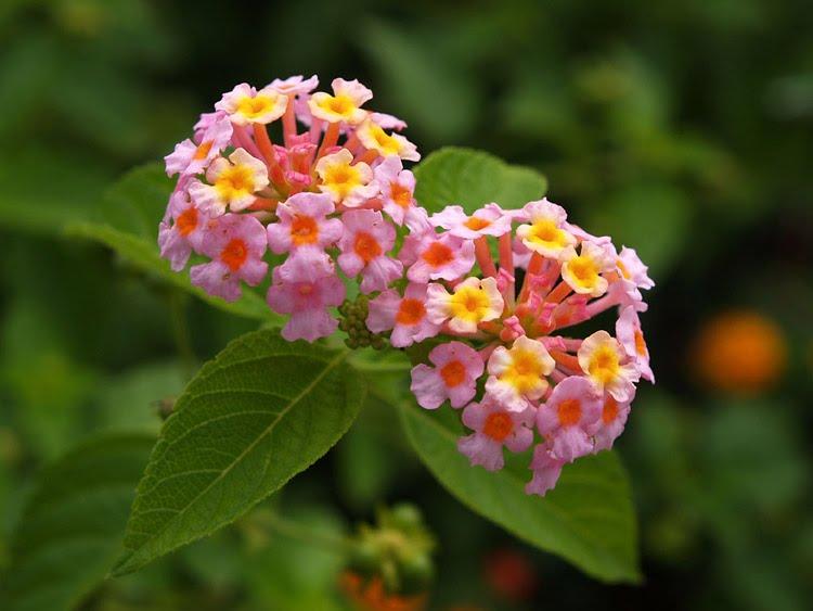 ต้นผกากรอง เป็นชื่อพืชที่อยู่ในวงศ์เวอร์บีนาซีอี