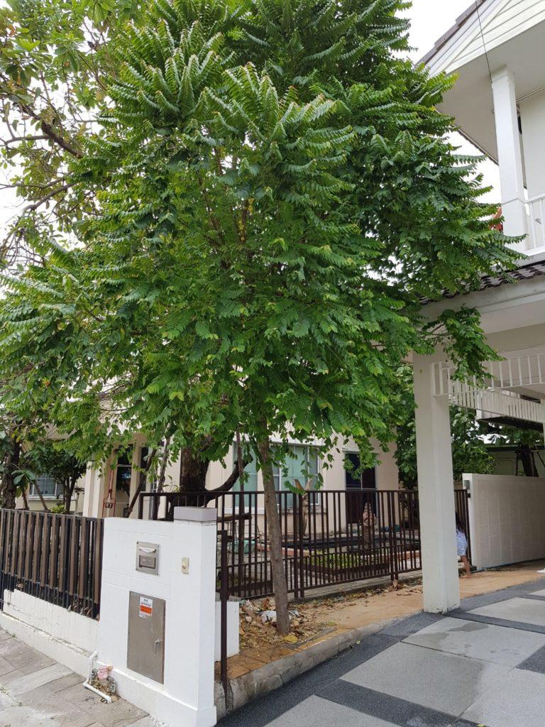 ไม้มงคลประดับบ้าน พันธุ์ไม้ชนิดที่สี่ คือ ต้นมะยม นิยมปลูกเอาไว้หน้าบ้านเพื่อเป็นสิริมงคลและเชื่อว่าปลูกต้นมะยมไว้จะทำให้มีคนนิยมชมชอบ