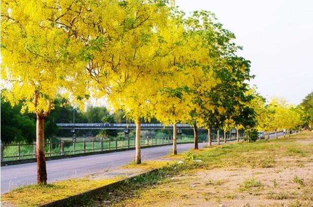 พันธุ์ไม้ยืนต้นน่าปลูก พันธุ์ไม้ปลูกง่ายชนิดที่สาม คือ ต้นราชพฤกษ์ หรือ ต้นคูน