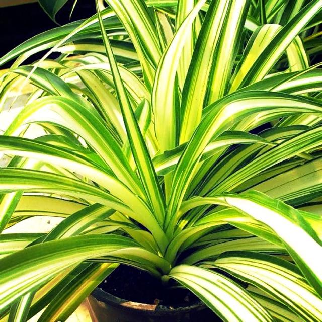 ต้นเศรษฐีเรือนใน (Spider Plant) เป็นไม้ที่ชอบแสงแดดอ่อน ๆ