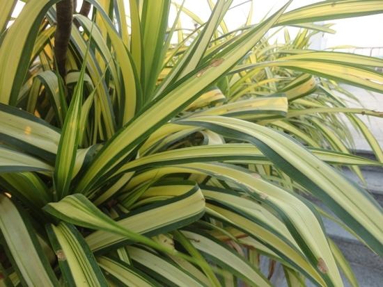 ต้นเศรษฐีเรือนใน (Spider Plant) พันธุ์ไม้ที่ดูดสารพิษ