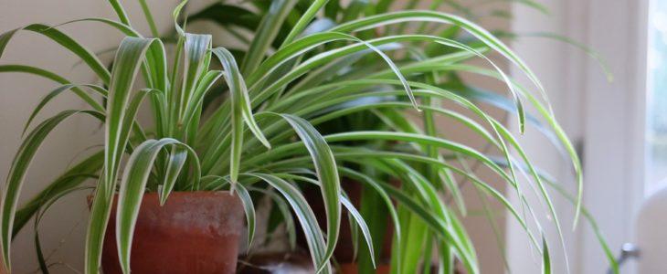 ต้นเศรษฐีเรือนใน (Spider Plant)