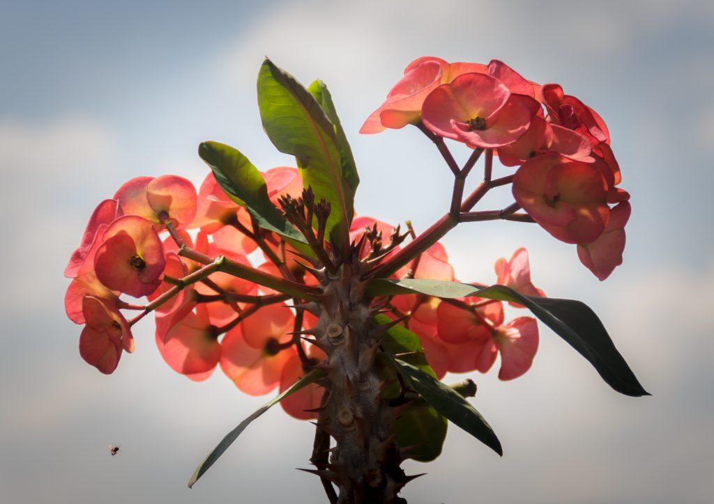 ต้นไม้มงคล ประจำวันเกิด สำหรับผู้ที่เกิดวันศุกร์ เช่น โป๊ยเซียน