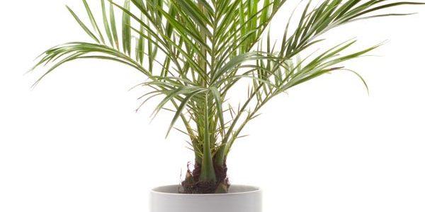 ปาล์มสิบสองปันนา (Dwarf Date Palm) เป็นไม้ประดับบ้าน