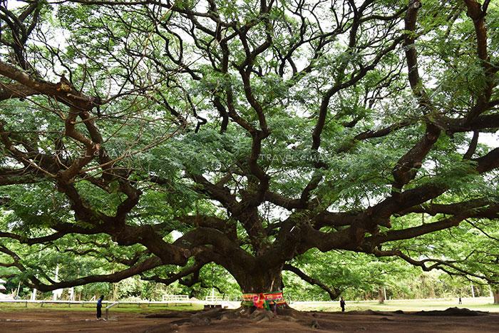 พันธุ์ไม้ยืนต้นน่าปลูกที่มีขนาดใหญ่และมีดอกสวยงาม