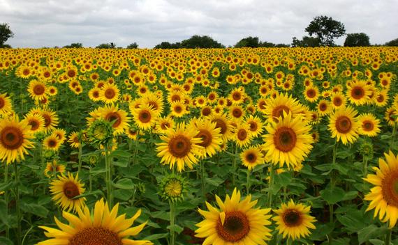 ดอกไม้สีเหลือง ที่ปลูกประดับบ้าน ปลูกรับแสงแดดทางทิศตะวันออก ดอกไม้ชนิดแรก ก้คือ ดอกทานตะวัน