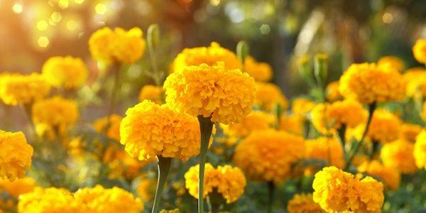 ดอกไม้สีเหลือง ที่ปลูกประดับบ้าน ทนต่อแสงแดดจัด