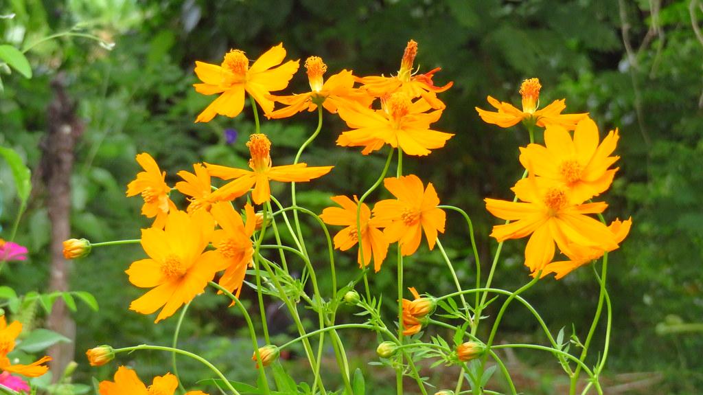 ดอกไม้สีเหลือง ปลูกประดับบ้าน
