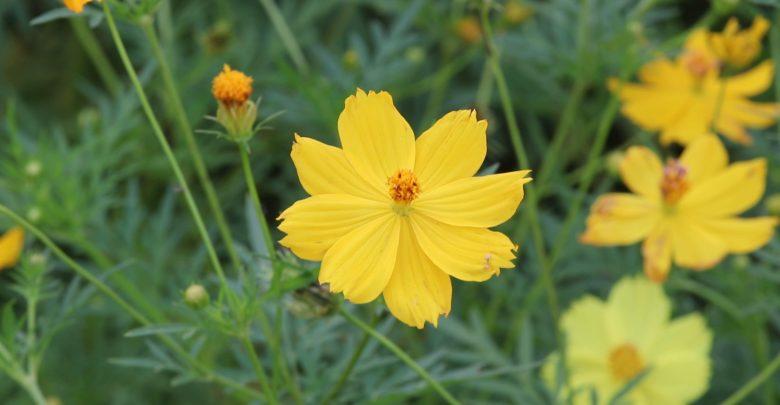 ดอกไม้สีเหลือง ที่ปลูกประดับบ้าน ปลูกรับแสงแดดทางทิศตะวันออก ดอกไม้ชนิดที่สี่ ก็คือ ดาวกระจาย