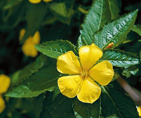 ดอกไม้สีเหลือง ที่ปลูกประดับบ้าน ปลูกรับแสงแดดทางทิศตะวันออก ดอกไม้ชนิดที่ห้า ก็คือ บานเช้า