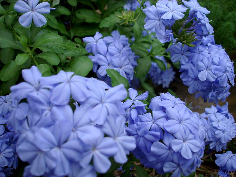 ดอกไม้จัดสวน ที่มีสีสวยงดงาม ดอกไม้ชนิดที่สอง คือ พยับหมอก
