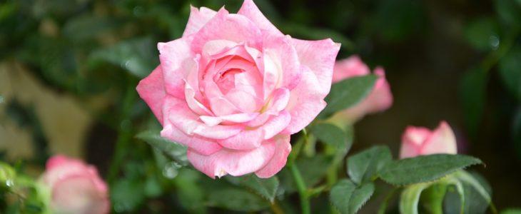 พันธุ์ดอกไม้ ที่เหมาะสำหรับปลูกในสวนกลางแจ้ง