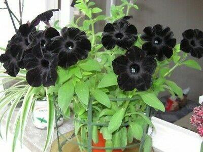 พันธุ์ไม้ที่มีดอกสีดำ น่าปลูกมีเสน่ห์