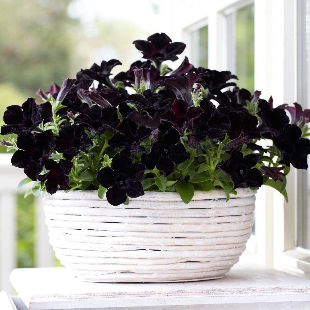 พันธุ์ไม้ที่มีดอกสีดำ