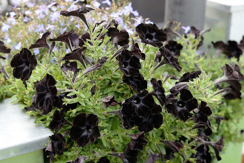 พิทูเนียสีดำ
