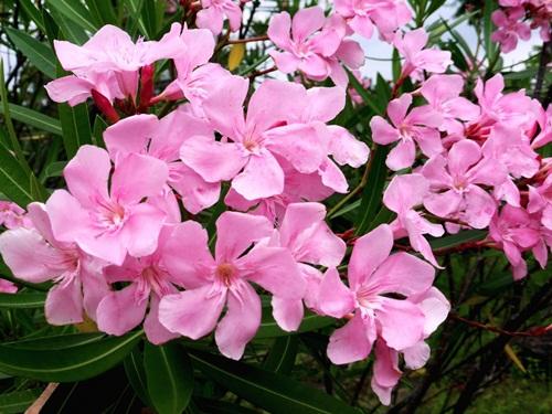 ดอกไม้จัดสวน ที่มีสีสวยงดงาม ดอกไม้ชนิดที่ห้า คือ ยี่โถ