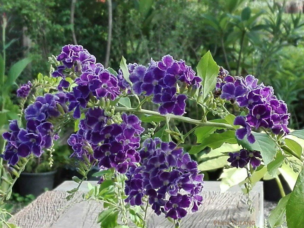 ดอกไม้จัดสวน ที่มีสีสวยงดงาม ดอกไม้ชนิดแรก คือ เทียนหยด