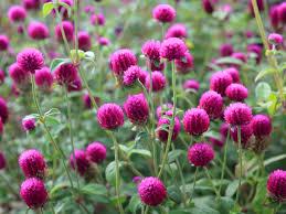 ดอกบานไม่รู้โรย เป็นดอกไม้ที่ปลูกง่าย