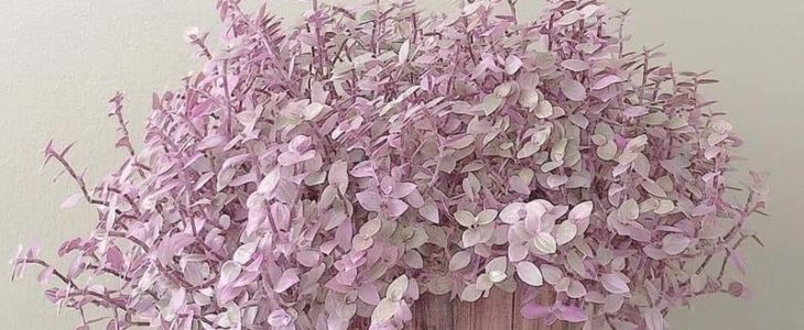 Callisia repens หรือ ริบบิ้นชาลี พันธุ์ไม้เล็กน่าเลี้ยง