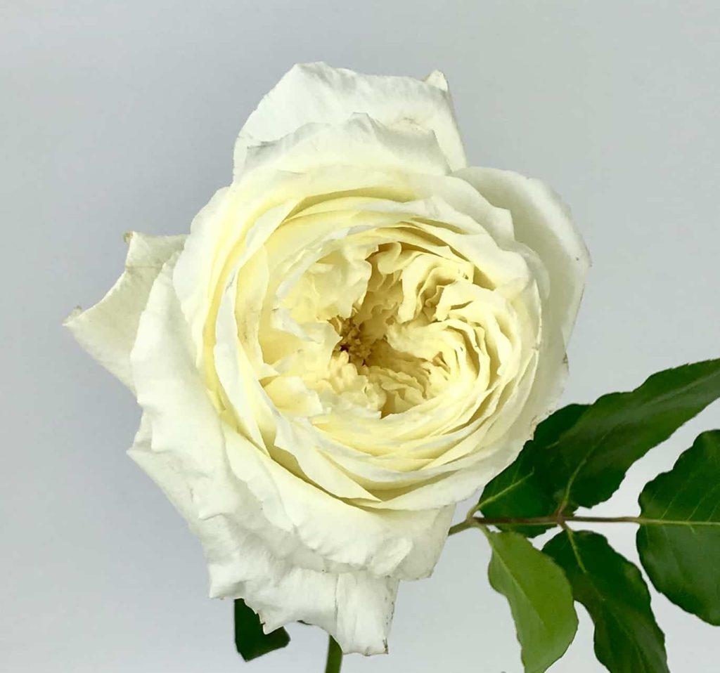 Patiece Rose