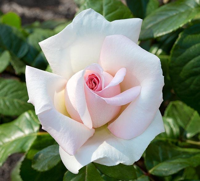Prince Jardinier Rose