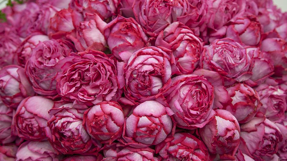 Yves Pisget Rose