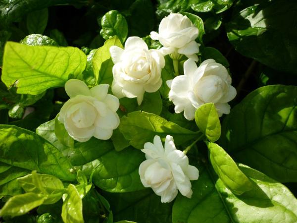ดอกมะลิขาว
