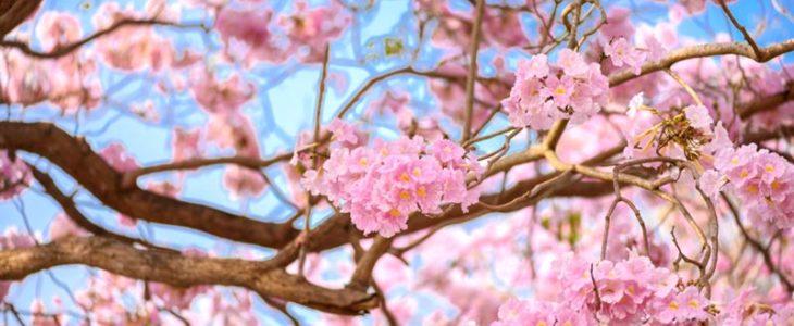 ต้นชมพูพันธุ์ทิพย์ ดอกสีชมพูสวย