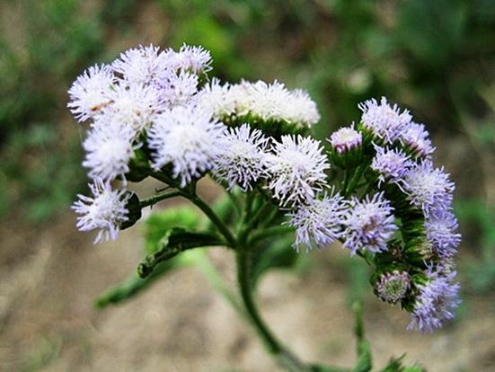 ดอกของ ต้นสาบเสือสาบกา นำมามัดช่อใส่แจกัน