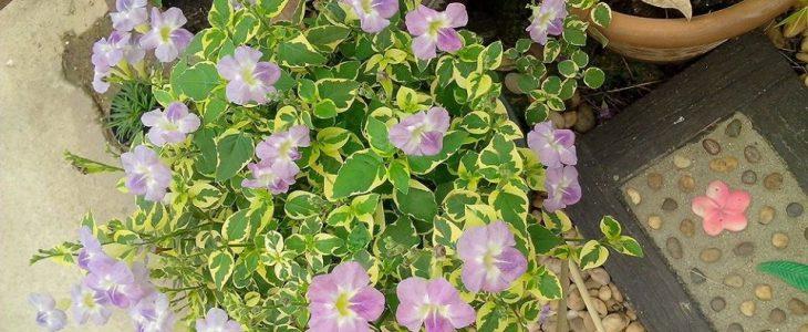 ต้นบุษบาริมทาง วัชพืชที่มีดอกสวยงาม