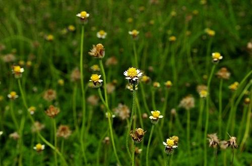 หญ้าตีนตุ๊กแก พืชคลุมดินที่ให้ประโยชน์มากกว่าที่คิด