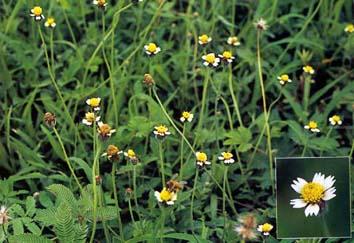หญ้าตีนตุ๊กแก วัชพืชที่มีดอกน่ารัก