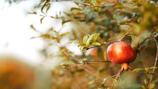 ต้นทับทิม ปลูกไว้ประดับบ้านเพื่อความสวยงามได้